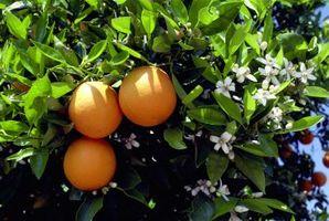 Zapach kwiatu pomarańczy – działanie przeciwdepresyjne